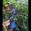 Elsv Coffee Picking 2