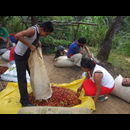 Elsv Coffee Picking 4